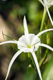 White lily like flower, Spider lily Royalty Free Stock Images