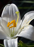 White lily macro. White lily isolated closeup with pollen on petals Stock Photography