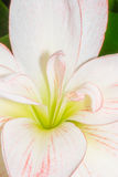 White lily macro Royalty Free Stock Images