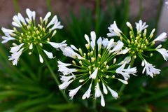 White lily of the nile Royalty Free Stock Photo
