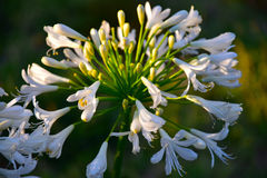 White lily of the nile Royalty Free Stock Photos