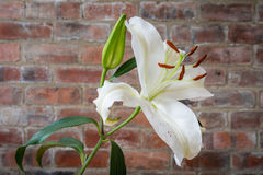 White Lily opened Stock Photos
