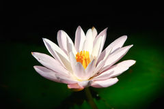 White Lily Pad Flower Stock Photos