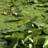 White lily pads Stock Image