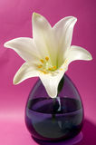 White lily on pink background. In blue vase Stock Images