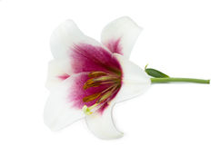 White lily with pink center. Beautiful white lilies with pink center Royalty Free Stock Photography