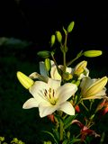 White lily. Pistils and stamens. Stock Photography
