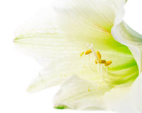 White lily pollen Stock Photography