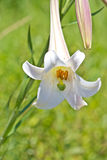 White Lily with pollen Royalty Free Stock Image
