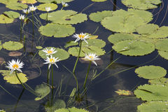 White lily pond Royalty Free Stock Photo
