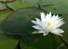 White Lily on Pond Royalty Free Stock Image