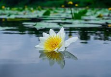 White lily in the pond. Flower white lily bloomed in the pond Royalty Free Stock Photo