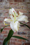 White Lily portrait Stock Photography