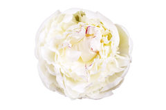 White lily prominent peony flower isolated on white background Stock Photo