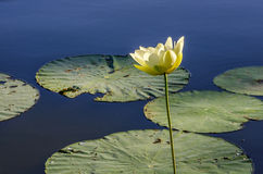 White Lily, Reelfoot Lake in Tennessee Stock Images