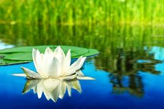 White lily reflected in a water Royalty Free Stock Photos