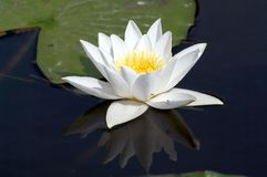 White lily. Reflects in swamps water Royalty Free Stock Photo