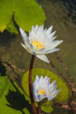 White Lily's. Two white and yellow lily's sitting in a pond of water Stock Photography