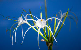 White lily with small spider on dark blue background Stock Images