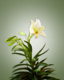 White Lily on soft green background. Image composition of White Lily on soft green background Stock Images