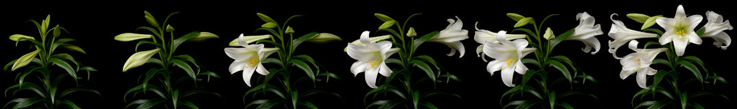 White Lily Time Lapse. Series. Studio shot over black Royalty Free Stock Photography