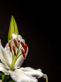 White lily with unopened bud on black. Easter lily with copy space Royalty Free Stock Photos