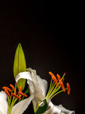 White lily with unopened bud on black. Easter lily with copy space on plain black background Royalty Free Stock Image