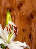 White lily with unopened bud on plywood background. Easter lily with copy space on plywood Stock Image