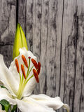 White lily with unopened bud on weathered planks. Easter lily with copy space Stock Image