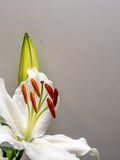 White lily with unopened bud on white. Easter lily with copy space on plain white Stock Photos
