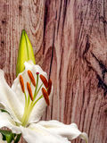 White lily with unopened bud on wooden planks. Easter lily with copy space Stock Image