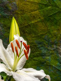 White lily with unopened bud on yellow and green. Easter lily with copy space Royalty Free Stock Image