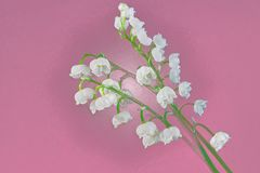 White Lily of the valley close-up on a purple background royalty free stock images