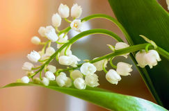 White lily of the valley with green leaves on a golden backgroun Stock Images