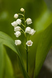 White Lily of the Valley in green leaves. White Lily of the Valley on the natural floral background Royalty Free Stock Images