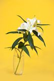 White lily in vase Royalty Free Stock Photo