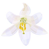 White lily. Stock Photography