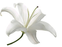 White lily on a white  background Stock Images