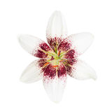 White lily on a white Royalty Free Stock Images