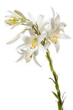 White lily on the white background Stock Images