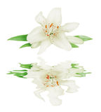 White lily on a white background reflected in a water Stock Image