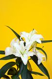 White lily on yellow Royalty Free Stock Photo