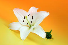 White lily on yellow. Royalty Free Stock Images