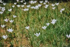 Zephyranthes candida flowers blooming in summer. White lily or zephyranthes candida in garden royalty free stock photos