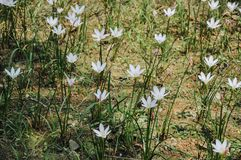 Zephyranthes candida flowers blooming in summer. White lily or zephyranthes candida in garden stock photo