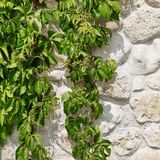White Limestone Wall  Hidden In Hanging Green Grape  Vines Backg Stock Photo