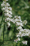 White Limonium sinuatum Stock Images