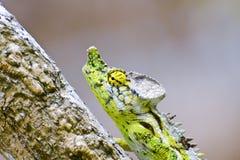 White-lined chameleon (Furcifer antimena) Royalty Free Stock Photo