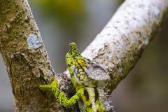 White-lined chameleon (Furcifer antimena) Royalty Free Stock Image