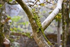 White-lined chameleon (Furcifer antimena) Stock Photo